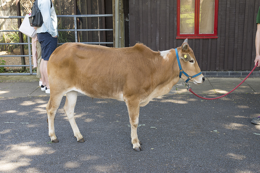 Small-cow